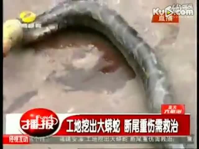 工地挖出大蟒蛇 断尾重伤需救治www.ddzkf120.com