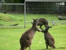 好犀利,袋鼠妈妈教小袋鼠打拳