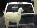 愤怒的小绵羊!