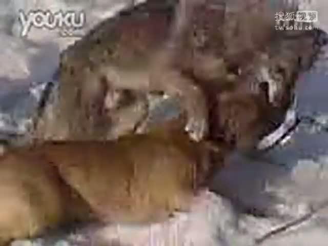 藏獒vs老虎图片 藏獒老虎打架视频