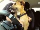 碉堡了:新西兰8周教会流浪狗开车。。。