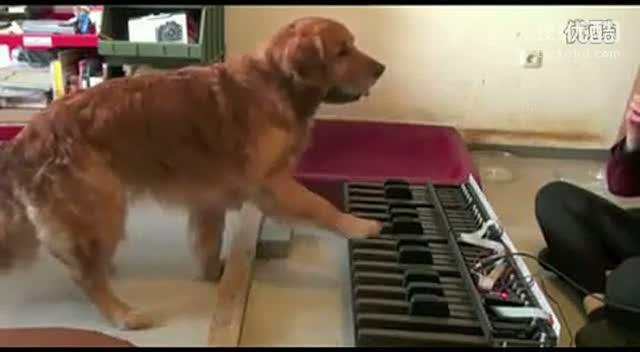 """【碉堡!狗狗的""""视唱""""练耳】这狗狗的练耳已经炉火纯青了有木有!!"""