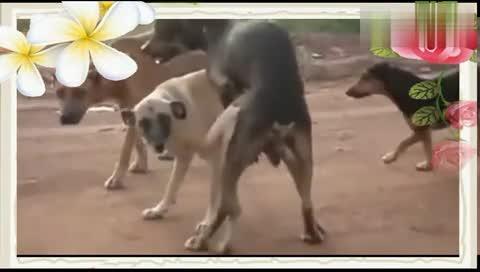 狗交配动物性行为`[高清]