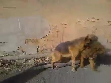 动物世界 狮子老虎打架谁厉害