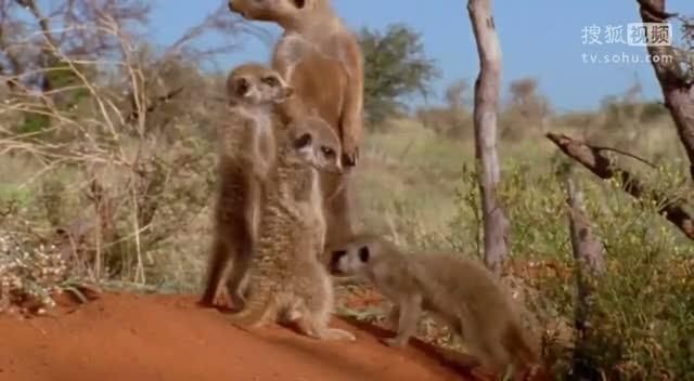 BBC纪录片《life》爆笑片段打瞌睡的猫鼬