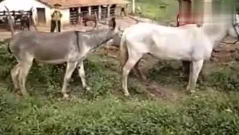 原创视频:动物世界 动物性行为马驴交配