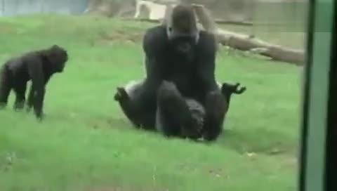 动物交配繁衍后代-大猩猩